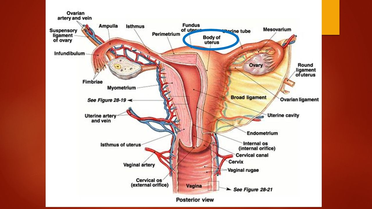 Female body diagram internal