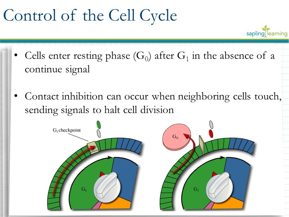 Cells enter resting phase (G 0 ) after G 1 in the absence of a continue signal Contact inhibition can occur when neighboring cells touch, sending signals to halt cell division Control of the Cell Cycle