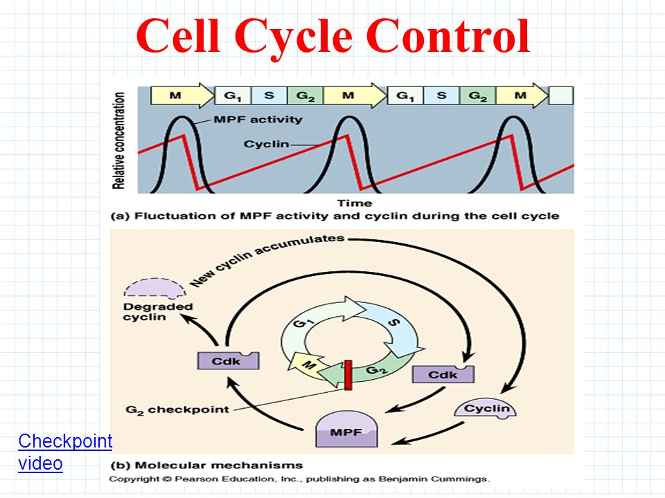 Checkpoint video Cell Cycle Control