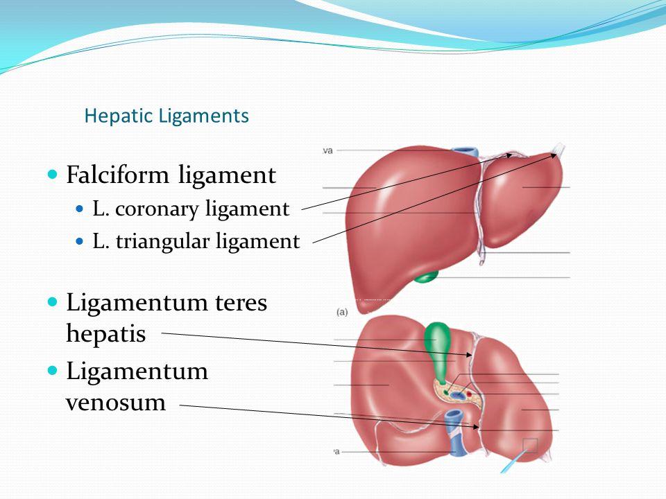 Funky Hepatic Ligaments Anatomy Illustration - Human Anatomy Images ...