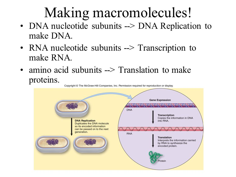 Chapter 7 the blueprint of life from dna to protein ppt download dna nucleotide subunits dna replication to make dna malvernweather Choice Image