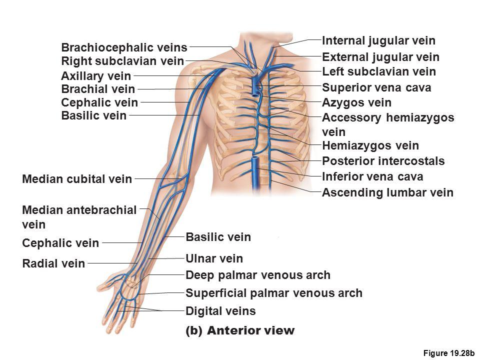 Upper arm vein anatomy