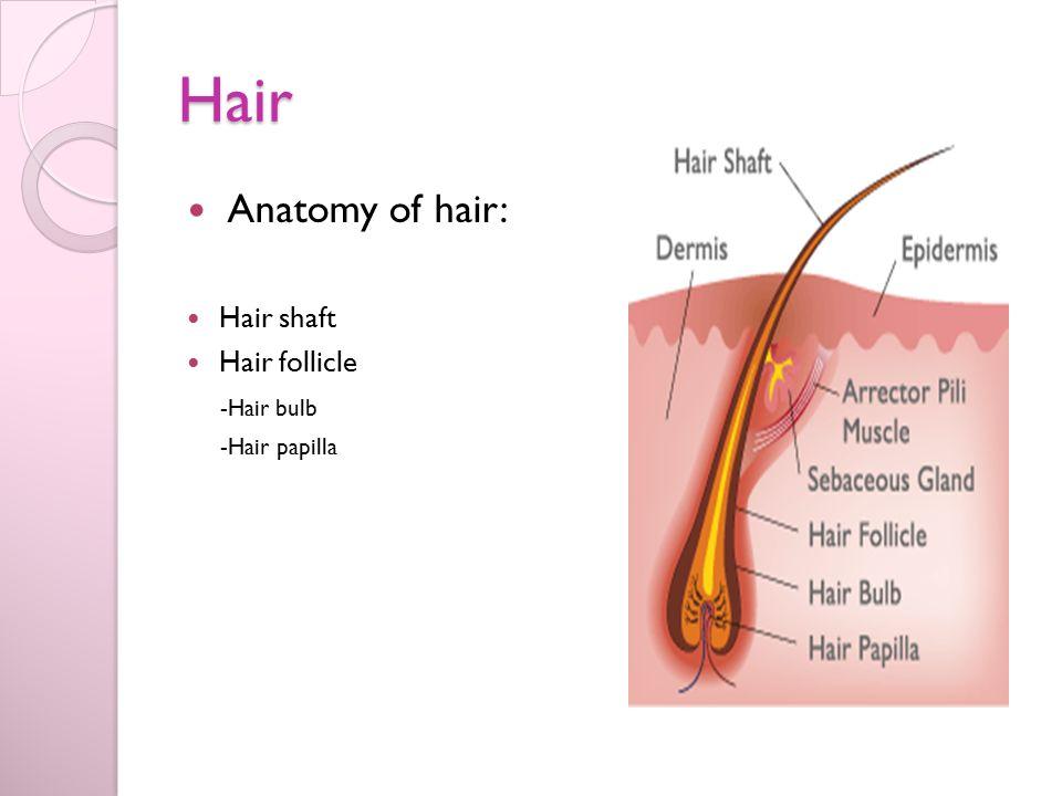 Contemporary Anatomy Of Hair Follicle Embellishment - Human Anatomy ...
