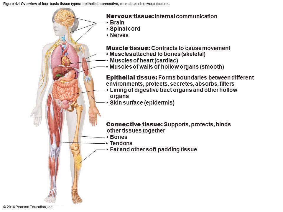 Basic Human Anatomy Community 5287661 Follow4morefo