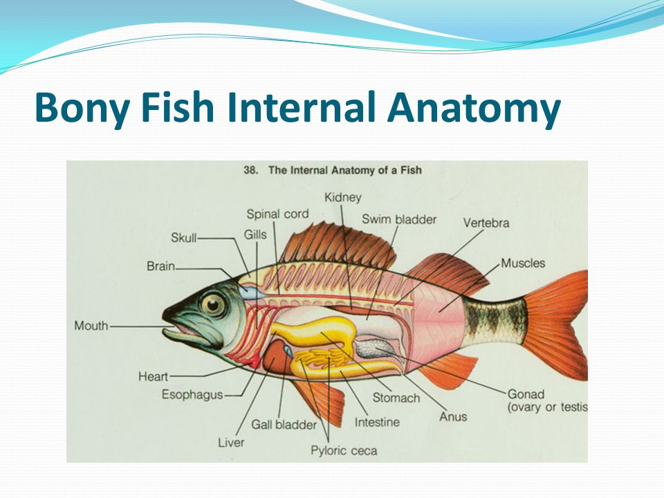 Charmant Internal Anatomy Of Bony Fish Bilder - Menschliche Anatomie ...
