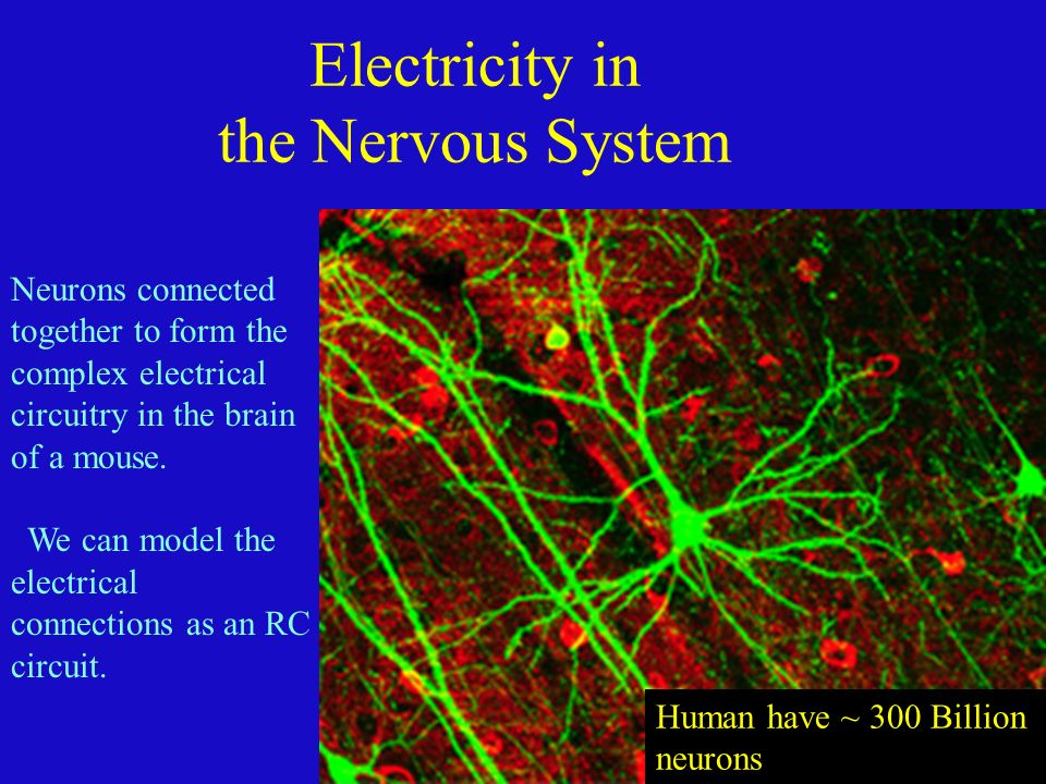 Chapter 23 Electric Circuits Neurons connected together to form the ...