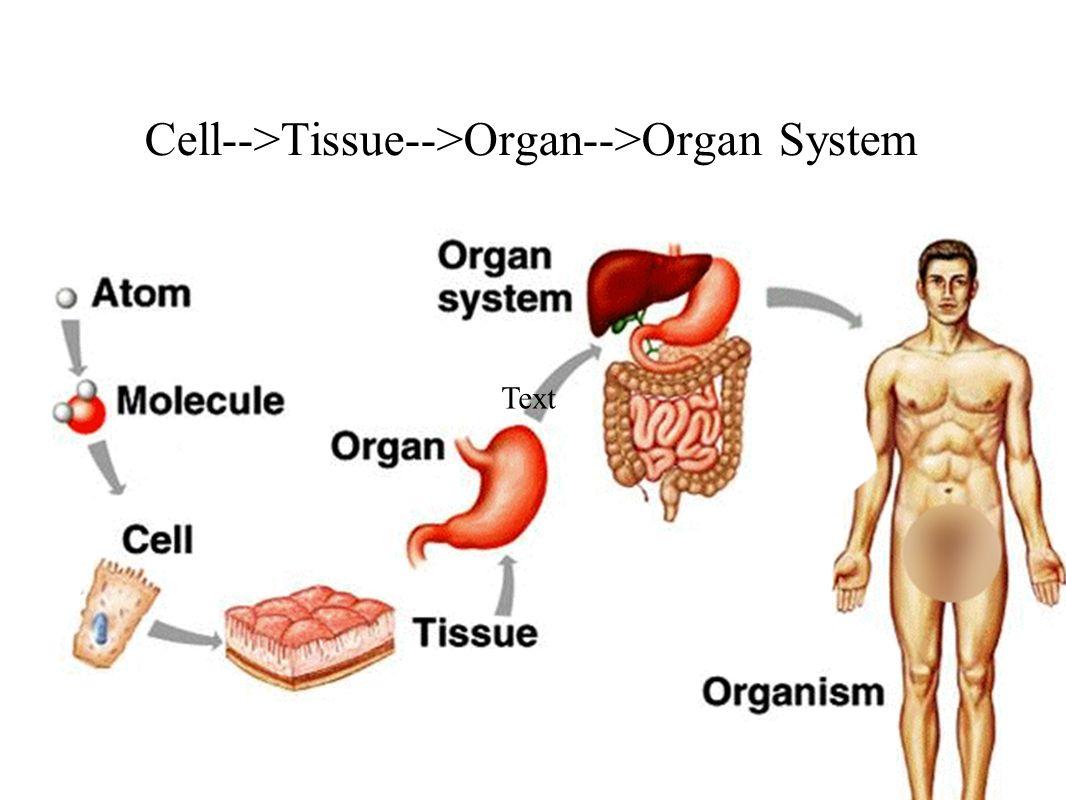 Berühmt Menschliche Anatomie Organsysteme Ideen - Menschliche ...