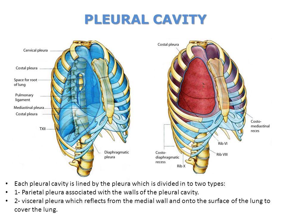Anatomy Of Mediastinum Choice Image - human body anatomy