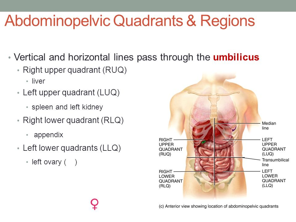 Anatomy left upper quadrant