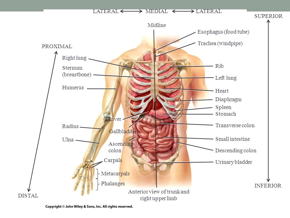 Anatomical language bio 137 anatomy physiology i lab ppt download 5 esophagus food tube trachea windpipe rib left lung heart diaphragm stomach transverse colon small intestine descending colon urinary bladder right ccuart Gallery