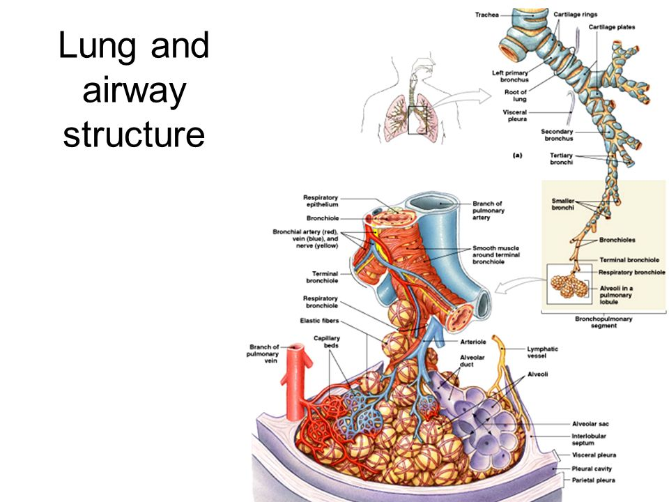 Lung histology objective to describe the gross anatomy and structure 3 lung and airway structure ccuart Image collections
