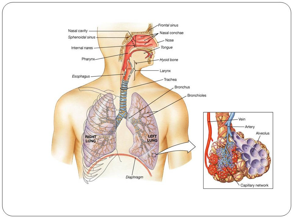 The respiratory system organization and functions of the 6 respiratory system functions 1 supplies the body with oxygen and disposes of carbon dioxide 2 filters inspired air 3 produces sound 4 contains ccuart Choice Image