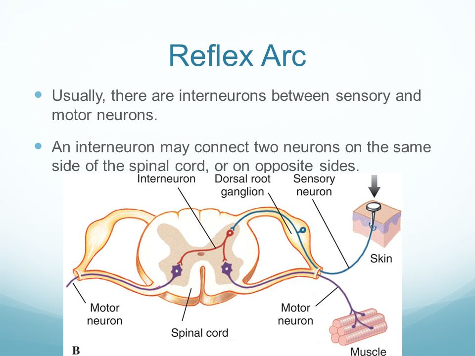 what type of sensory neuron would likely respond to the green light The reflex arc how a stimulus receptor cells of your eyes are stimulated by light the response •when the receptor is stimulated • a sensory neuron carries.