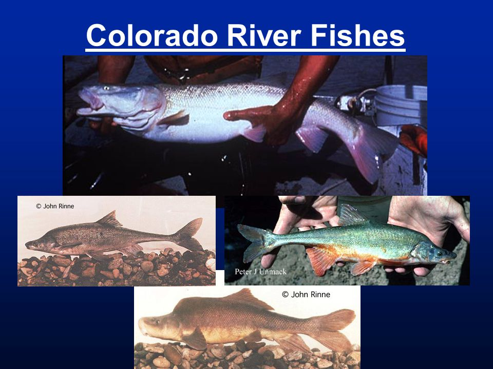 Colorado River Fishes