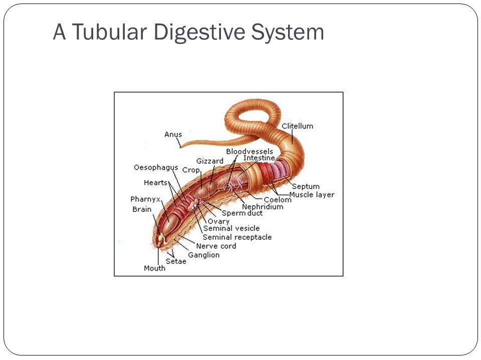 1 4 3 2 A Tubular Digestive System