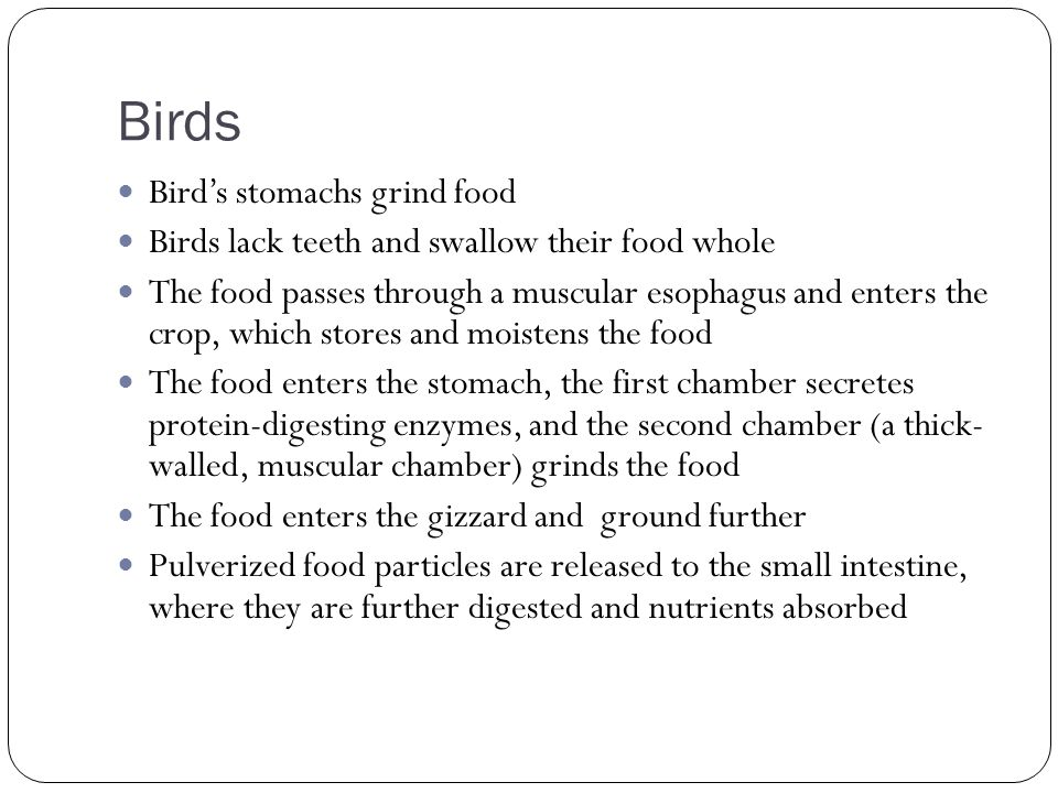 Birds Birds stomachs grind food Birds lack teeth and swallow their food whole The food passes through a muscular esophagus and enters the crop, which