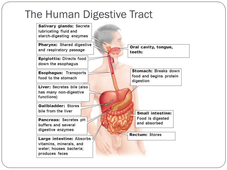 The Human Digestive Tract Oral cavity, tongue, teeth: Stomach: Breaks down food and begins protein digestion Small intestine: Food is digested and abs