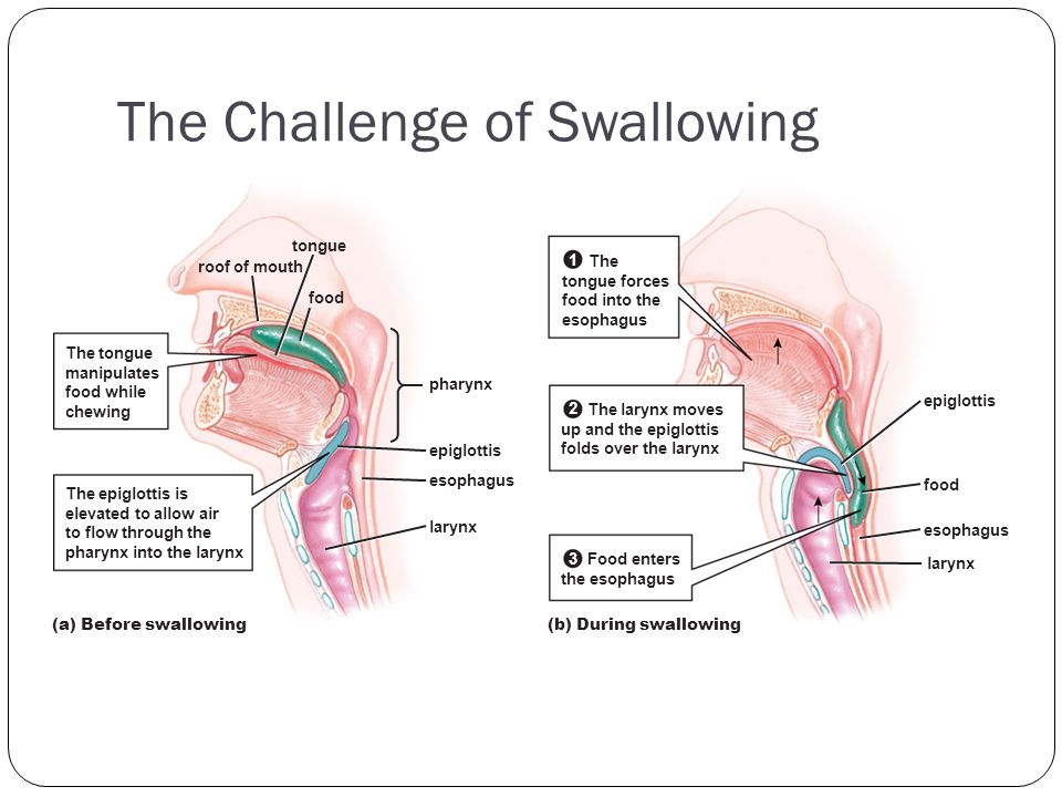 The Challenge of Swallowing (a) Before swallowing roof of mouth food tongue pharynx epiglottis esophagus larynx The epiglottis is elevated to allow ai