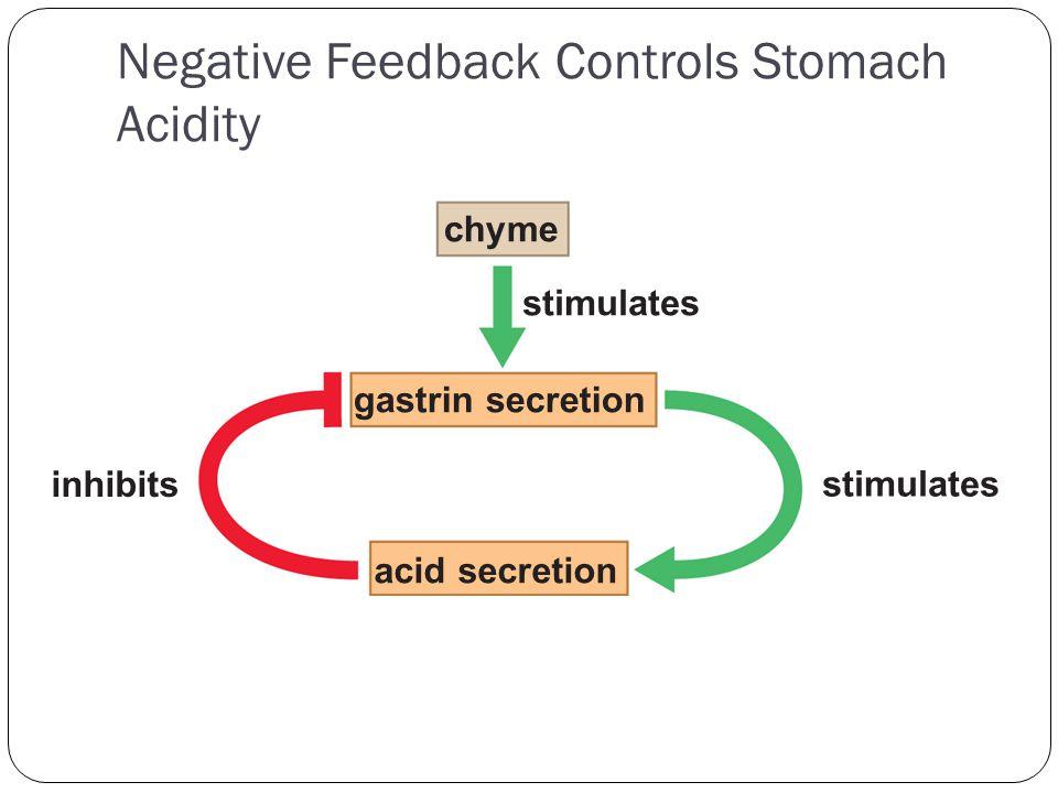 Negative Feedback Controls Stomach Acidity chyme gastrin secretion inhibits acid secretion stimulates