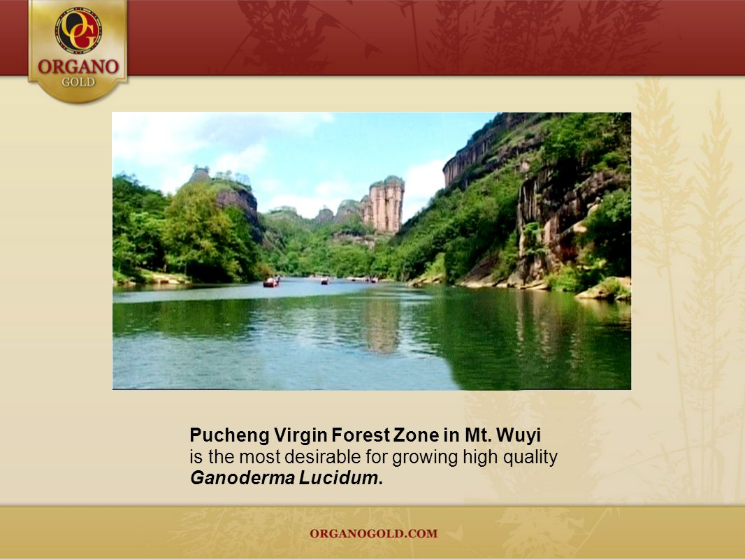 Scientists from China and Japan have studied, analyzed Ganoderma Lucidum, and concluded that Pucheng Virgin Forest Zone in Mt.