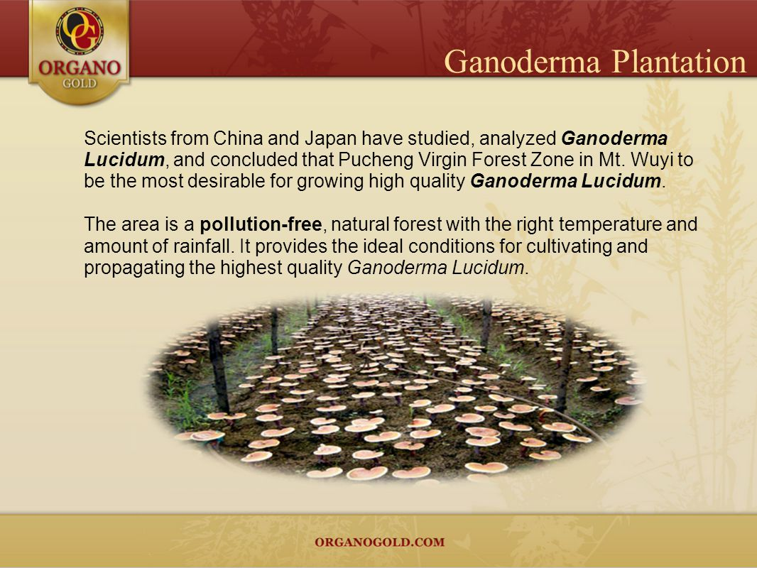 Scientists from China and Japan have studied, analyzed Ganoderma Lucidum, and concluded that Pucheng Virgin Forest Zone in Mt. Wuyi to be the most des
