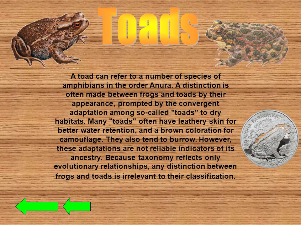 Most frogs are characterized by long hind legs, a short body, webbed digits (fingers or toes), protruding eyes and the absence of a tail.