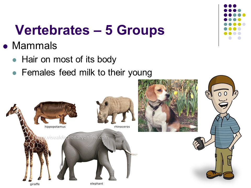 Vertebrates – 5 Groups Mammals Hair on most of its body Females feed milk to their young