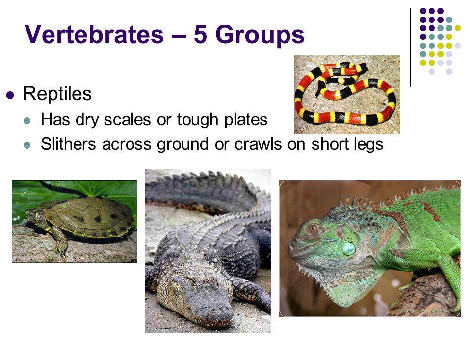 Vertebrates – 5 Groups Amphibians Moist skin without scales, hair, or feathers Breathes with lungs as an adult, gills when young Lives in water AND on land