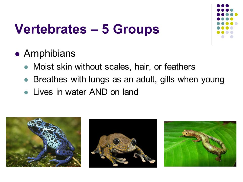 Vertebrates – 5 Groups Amphibians Moist skin without scales, hair, or feathers Breathes with lungs as an adult, gills when young Lives in water AND on