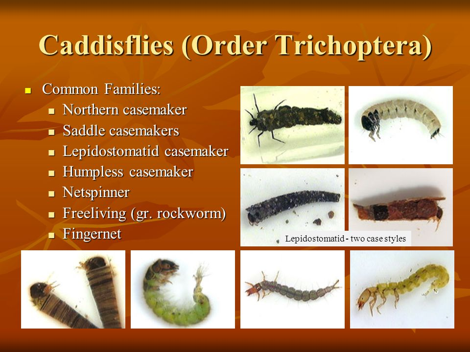Caddisflies (Order Trichoptera) Common Families: Common Families: Northern casemaker Northern casemaker Saddle casemakers Saddle casemakers Lepidostom