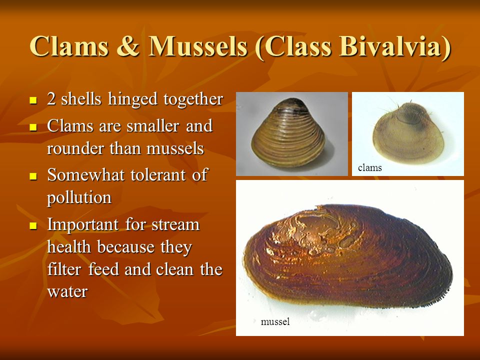 Clams & Mussels (Class Bivalvia) 2 shells hinged together 2 shells hinged together Clams are smaller and rounder than mussels Clams are smaller and ro