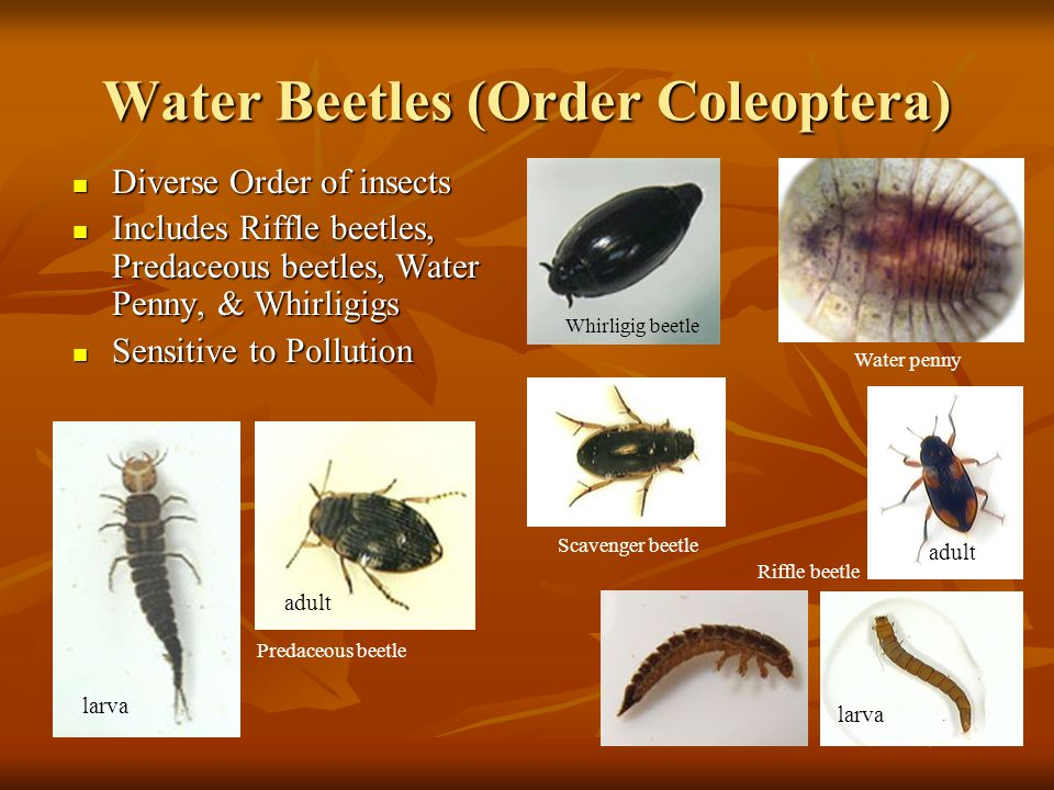 Water Beetles (Order Coleoptera) Diverse Order of insects Diverse Order of insects Includes Riffle beetles, Predaceous beetles, Water Penny, & Whirlig