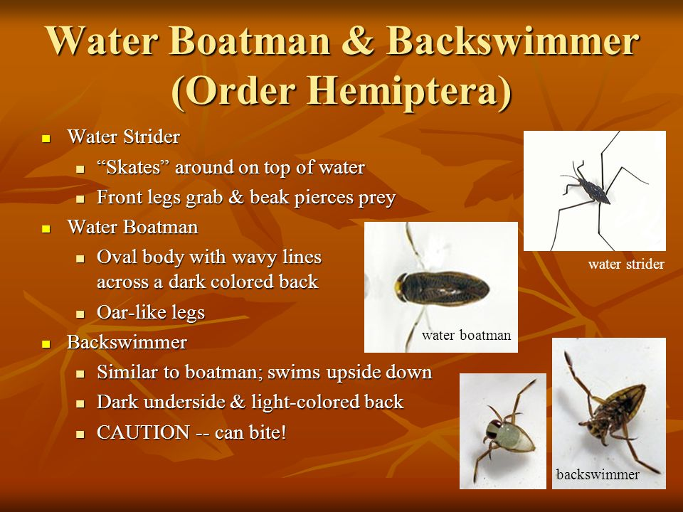 Water Boatman & Backswimmer (Order Hemiptera) Water Strider Water Strider Skates around on top of water Skates around on top of water Front legs grab