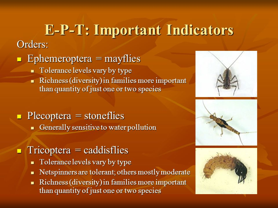 E-P-T: Important Indicators Orders: Ephemeroptera = mayflies Ephemeroptera = mayflies Tolerance levels vary by type Tolerance levels vary by type Rich