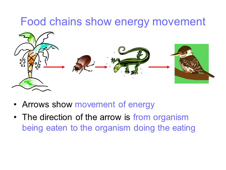 Food chains show energy movement Arrows show movement of energy The direction of the arrow is from organism being eaten to the organism doing the eating