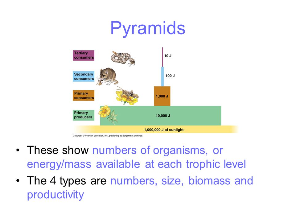 Pyramids These show numbers of organisms, or energy/mass available at each trophic level The 4 types are numbers, size, biomass and productivity