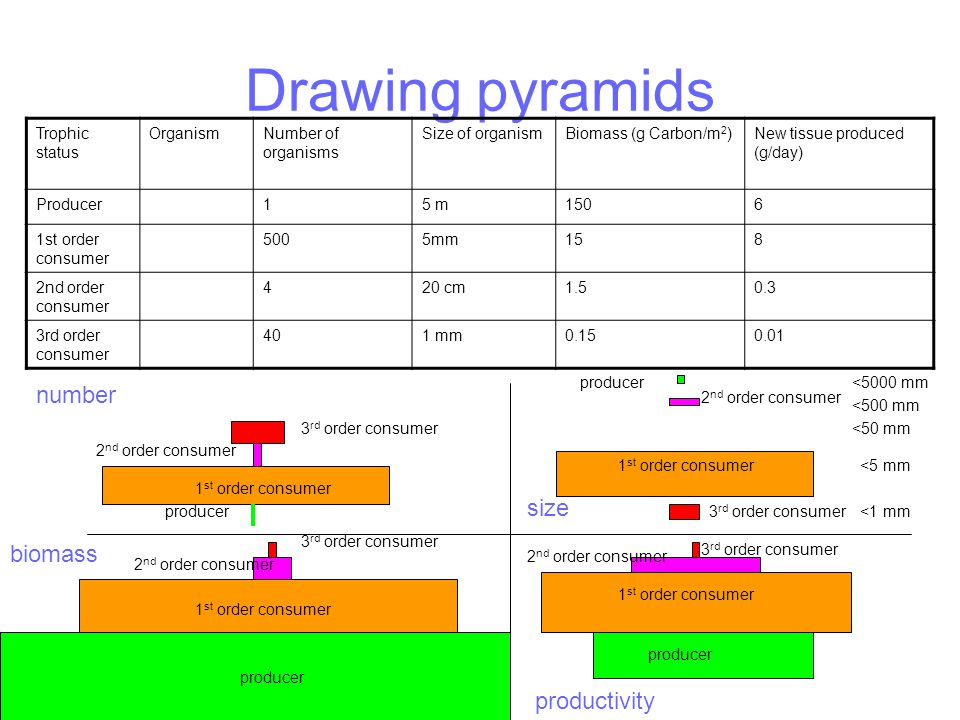 Drawing pyramids Trophic status OrganismNumber of organisms Size of organismBiomass (g Carbon/m 2 )New tissue produced (g/day) Producer15 m1506 1st order consumer 5005mm158 2nd order consumer 420 cm1.50.3 3rd order consumer 401 mm0.150.01 number size biomass productivity producer 1 st order consumer 2 nd order consumer 3 rd order consumer 1 st order consumer producer 2 nd order consumer 3 rd order consumer <5000 mm <500 mm <50 mm <5 mm <1 mm