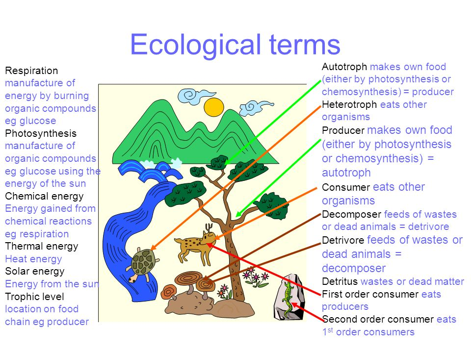 Ecological terms Autotroph makes own food (either by photosynthesis or chemosynthesis) = producer Heterotroph eats other organisms Producer makes own food (either by photosynthesis or chemosynthesis) = autotroph Consumer eats other organisms Decomposer feeds of wastes or dead animals = detrivore Detrivore feeds of wastes or dead animals = decomposer Detritus wastes or dead matter First order consumer eats producers Second order consumer eats 1 st order consumers Respiration manufacture of energy by burning organic compounds eg glucose Photosynthesis manufacture of organic compounds eg glucose using the energy of the sun Chemical energy Energy gained from chemical reactions eg respiration Thermal energy Heat energy Solar energy Energy from the sun Trophic level location on food chain eg producer
