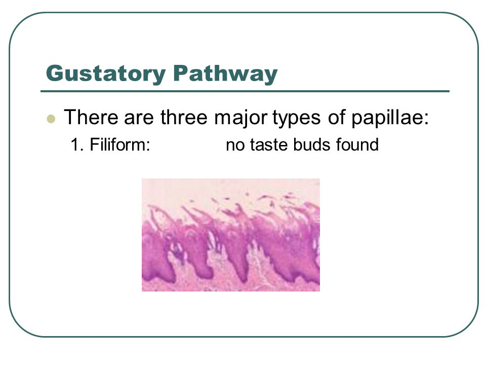 Gustatory Pathway There are three major types of papillae: 1. Filiform: no taste buds found