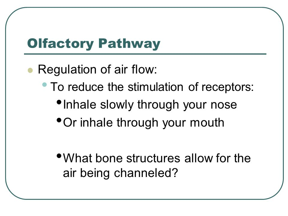 Olfactory Pathway Regulation of air flow: To reduce the stimulation of receptors: Inhale slowly through your nose Or inhale through your mouth What bo
