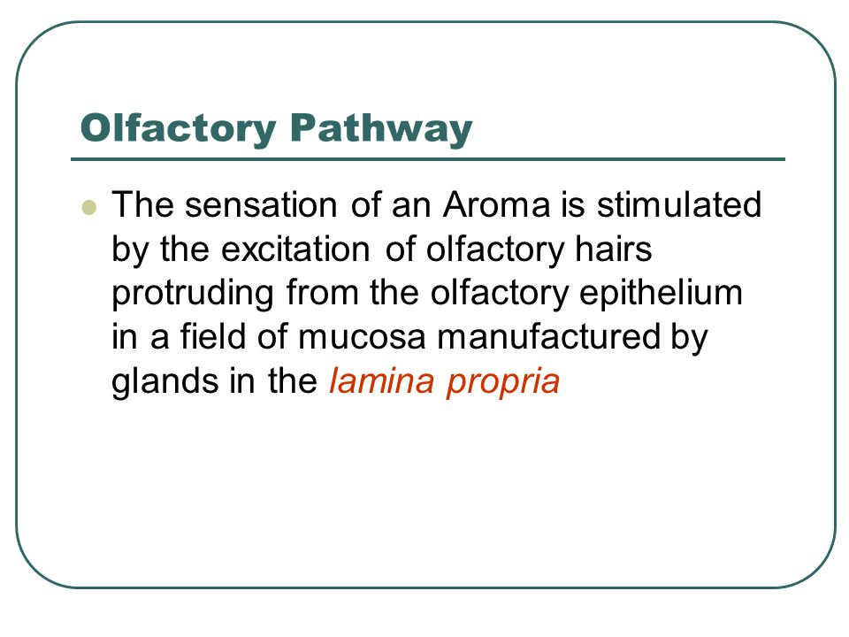Olfactory Pathway The sensation of an Aroma is stimulated by the excitation of olfactory hairs protruding from the olfactory epithelium in a field of