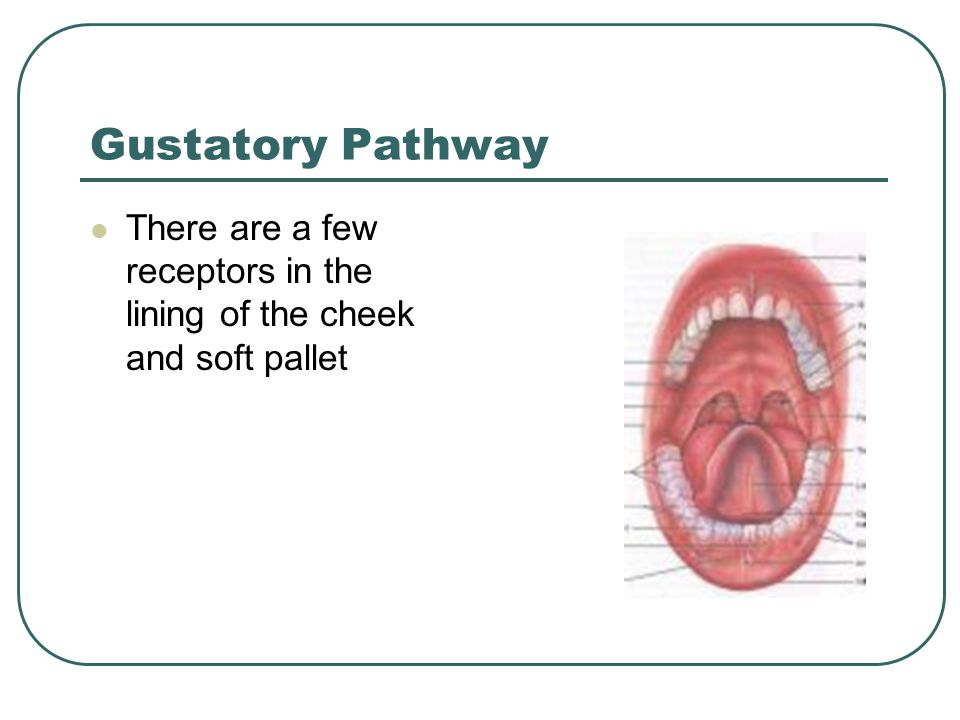 Gustatory Pathway There are a few receptors in the lining of the cheek and soft pallet