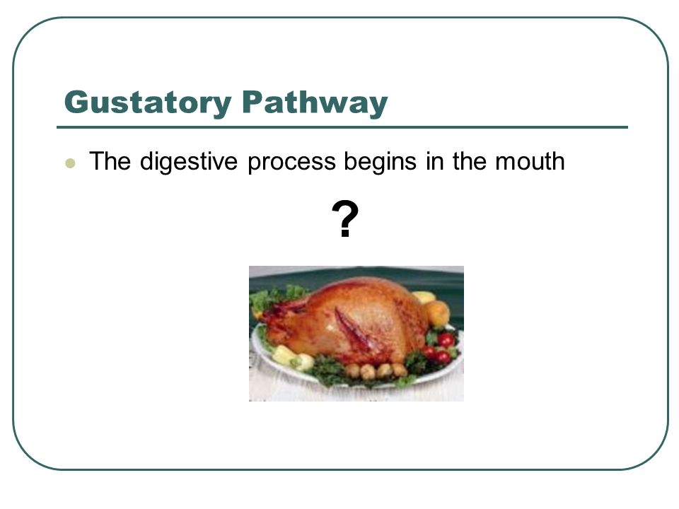 Gustatory Pathway The digestive process begins in the mouth