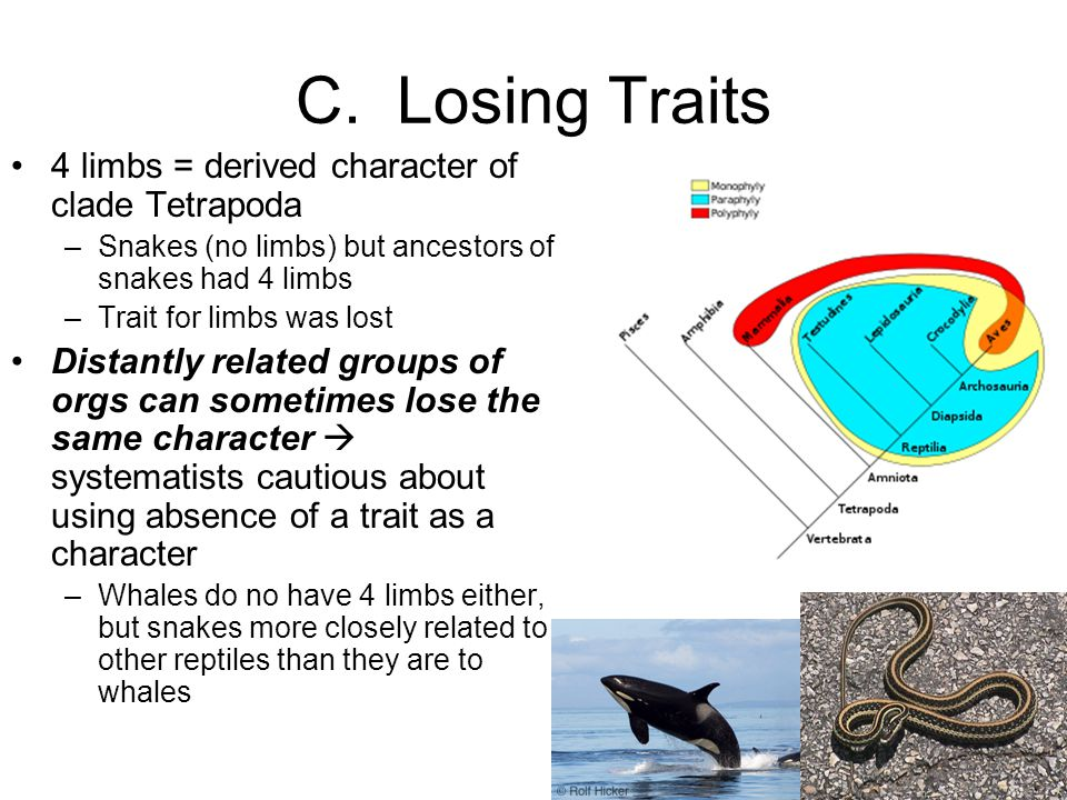 C. Losing Traits 4 limbs = derived character of clade Tetrapoda –Snakes (no limbs) but ancestors of snakes had 4 limbs –Trait for limbs was lost Dista