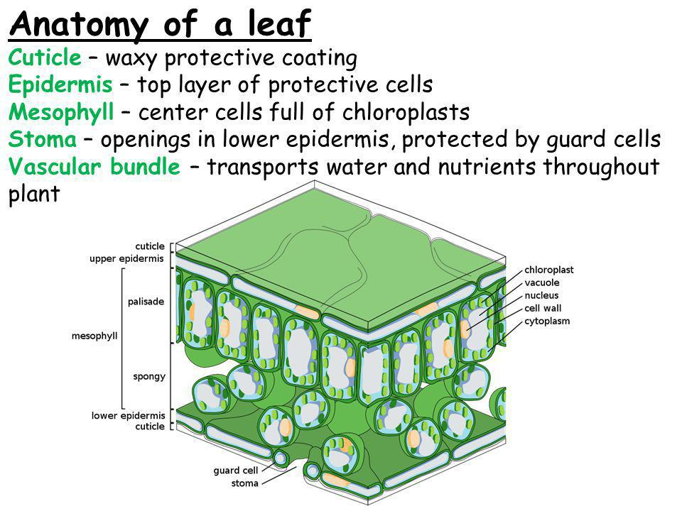 Anatomy of a leaf Cuticle – waxy protective coating Epidermis – top layer of protective cells Mesophyll – center cells full of chloroplasts Stoma – openings in lower epidermis, protected by guard cells Vascular bundle – transports water and nutrients throughout plant