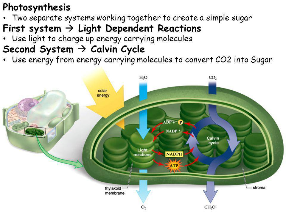 Photosynthesis Two separate systems working together to create a simple sugar First system Light Dependent Reactions Use light to charge up energy car
