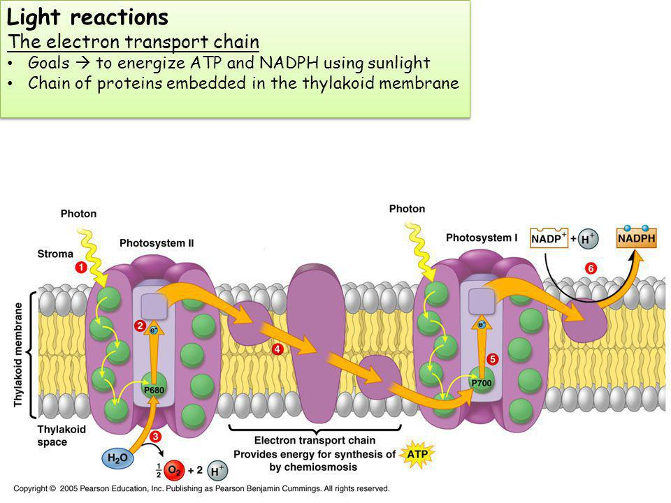 Light reactions The electron transport chain Goals to energize ATP and NADPH using sunlight Chain of proteins embedded in the thylakoid membrane Light reactions The electron transport chain Goals to energize ATP and NADPH using sunlight Chain of proteins embedded in the thylakoid membrane