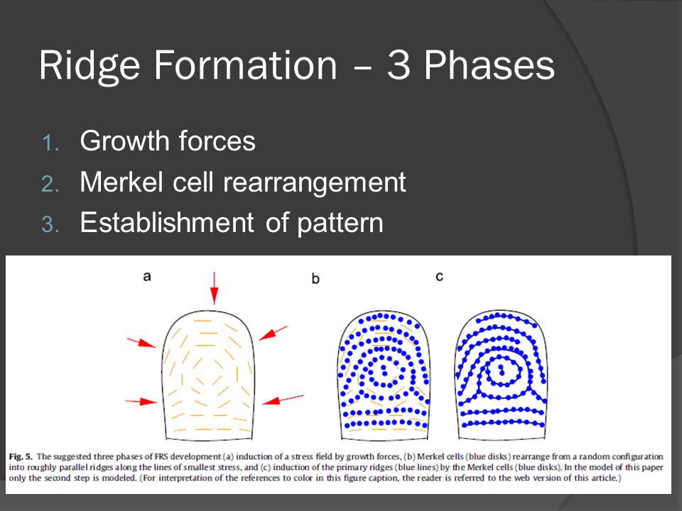 Ridge Formation – 3 Phases 1. Growth forces 2. Merkel cell rearrangement 3.