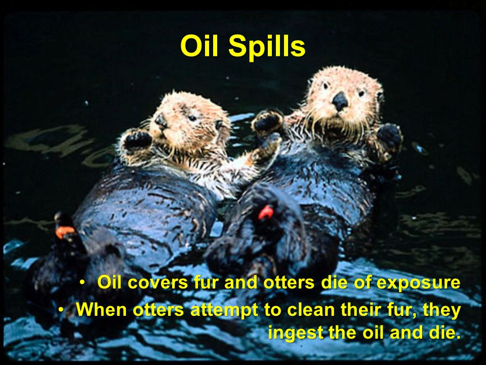 Oil Spills Oil covers fur and otters die of exposureOil covers fur and otters die of exposure When otters attempt to clean their fur, they ingest the