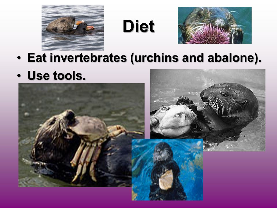 Diet Eat invertebrates (urchins and abalone).Eat invertebrates (urchins and abalone). Use tools.Use tools.